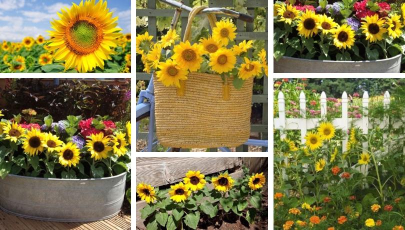 Ηλίανθος, το λουλούδι του ήλιου - υπέροχες ιδέες για την αυλή και τον κήπο σας