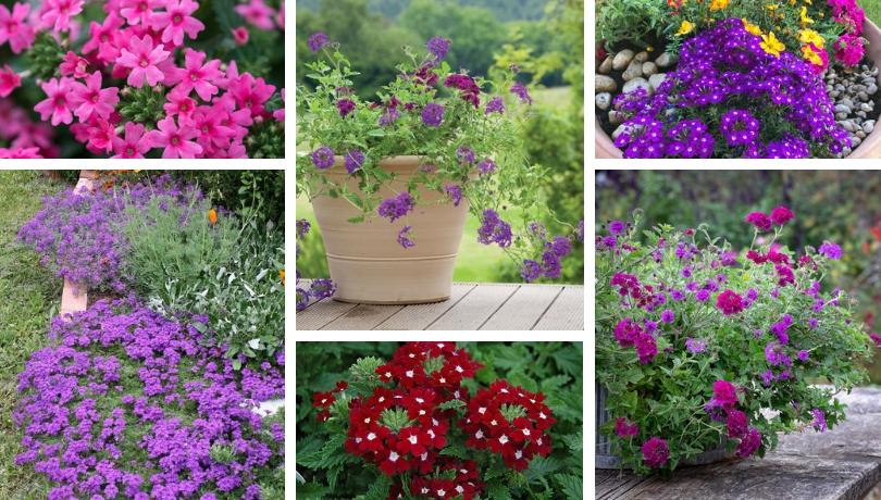 Βερβένα: Ένα πανέμορφο καλλωπιστικό φυτό για τον κήπο σας