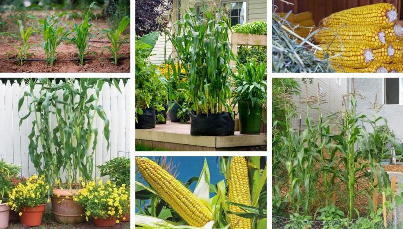 Μυστικά για τη φύτευση και την καλλιέργεια καλαμποκιού στον κήπο σας