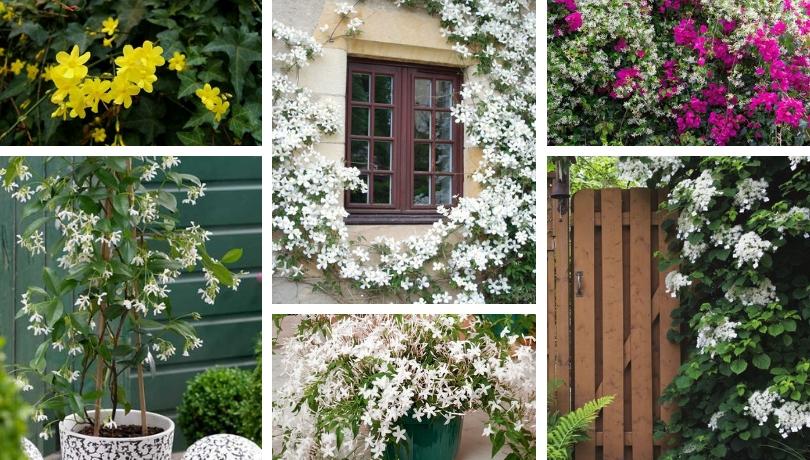 Γιασεμί το δημοφιλέστερο αναρριχώμενο φυτό με το πιο γλυκό και μεθυστικό άρωμα στον κήπο σας
