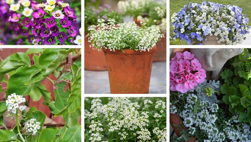 Άλυσσο ένα λουλούδι με άρωμα μελιού ιδανικό για το μπαλκόνι και τον κήπο σας
