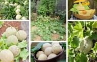 Πως να καλλιεργήσετε τα πιο ζουμερά και νόστιμα πεπόνια στη γλάστρα, στο μπαλκόνι και τον κήπο σας