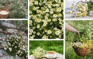 Χαμομήλι, πως να καλλιεργήσετε το πανέμορφο αυτό φυτό στην αυλή, στον κήπο σας και σε γλάστρα