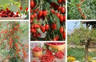 Καλλιέργεια Γκότζι μπέρι, ένα super food σε γλάστρα και τον κήπο σας