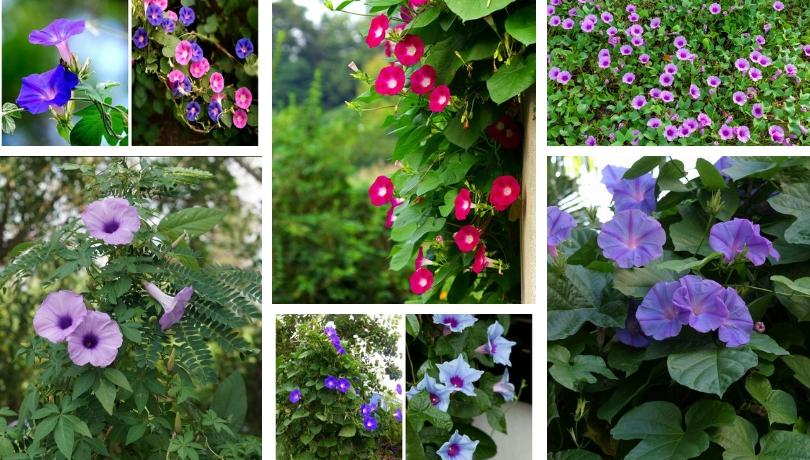Ιπομέα το εντυπωσιακό αναρριχητικό χωνάκι - ένα εύκολο και εξαιρετικό διακοσμητικό φυτό για κήπους και μπαλκόνια