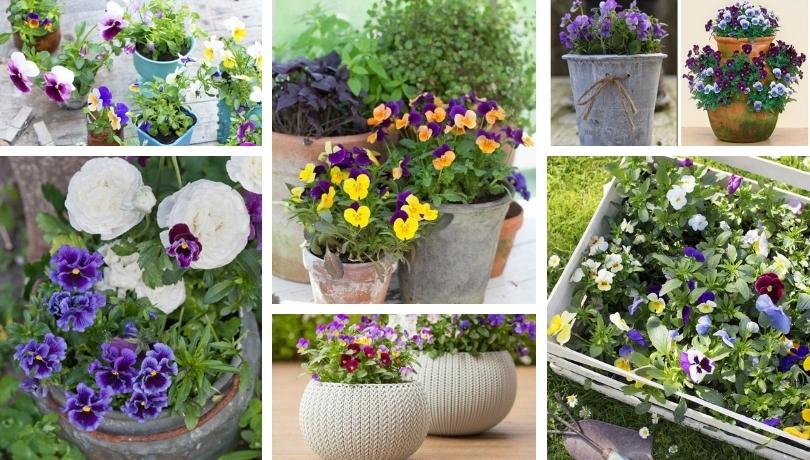 Κηπουρική: Πανσέδες ένα καταπληκτικό πολύχρωμο λουλούδι για την γλάστρα και τον κήπο σας