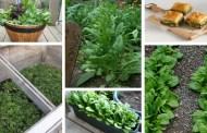 Σπανάκι: Μυστικά για το πώς να καλλιεργήσετε το αγαπημένο λαχανικό δύναμης του Ποπάϋ στις γλάστρες ή στον κήπο σας