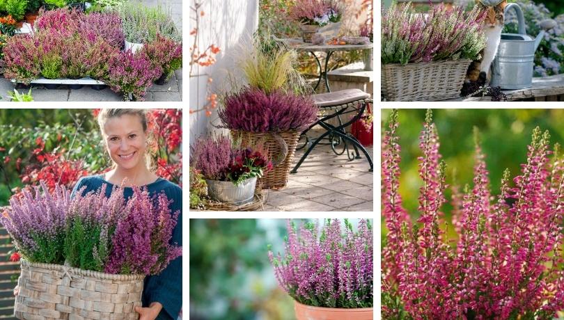 Καλούνα, ένα εντυπωσιακό φθινοπωρινό φυτό για τον κήπο και την αυλή σας