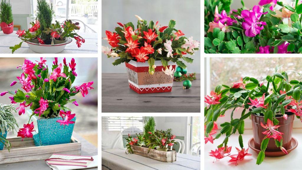 Κάκτος των Χριστουγέννων ένα υπέροχο φυτό για τις γιορτές στο σπίτι σας