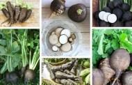 Μαύρο ραπανάκι και πώς να το καλλιεργήσετε στον κήπο σας