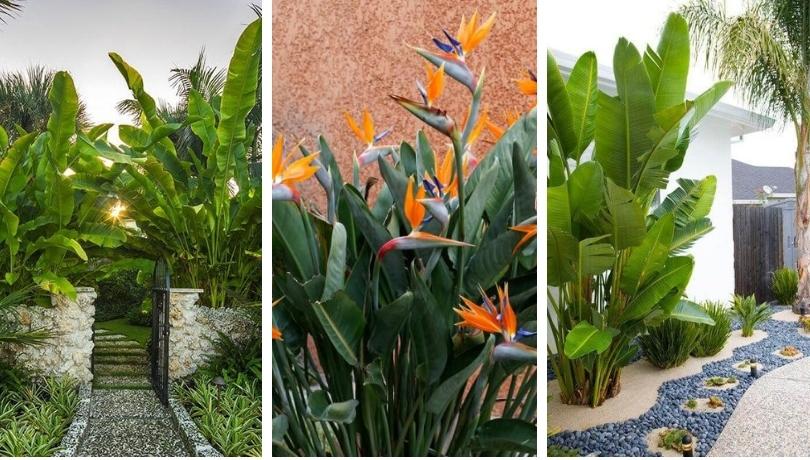 Στρελίτσια ή πουλί του παραδείσου, ένα απίθανο τροπικό φυτό για τον κήπο σας