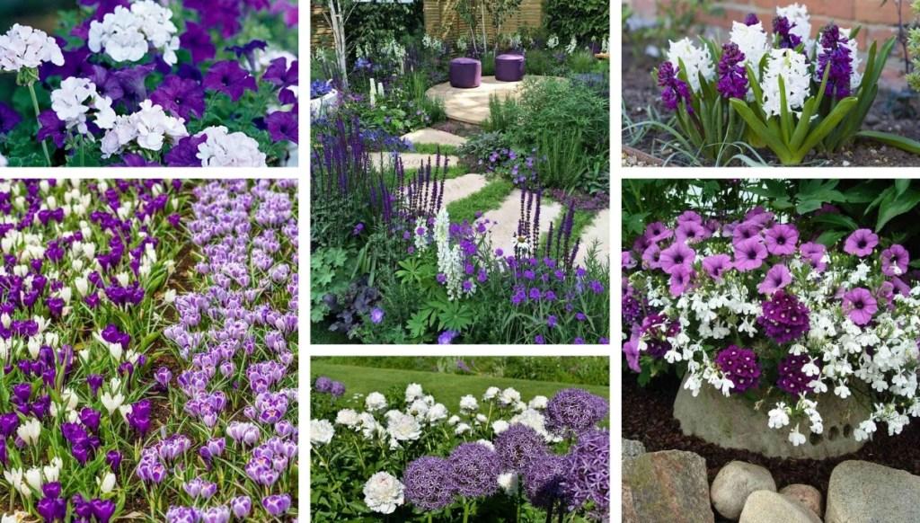 Μωβ και λευκά παρτέρια για μια ρομαντική εμφάνιση για τον κήπο