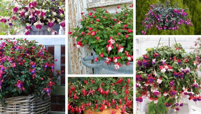 Φούξια ή σκουλαρικάκι - ένα μαγικό, νοσταλγικό λουλούδι στο σπίτι σας, σαν τον παλιό καλό καιρό