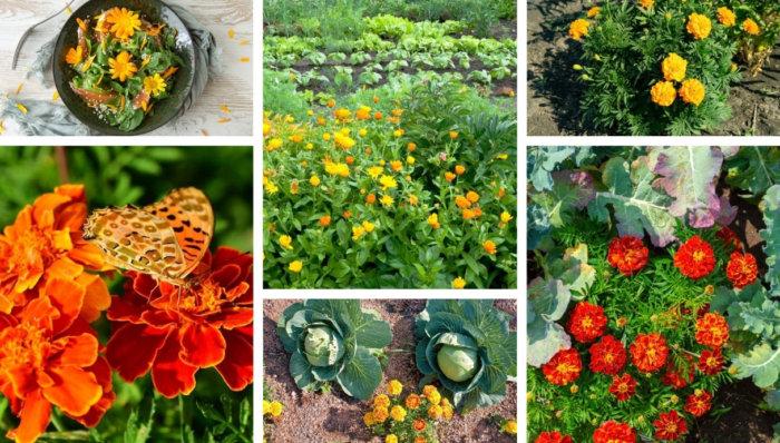 10 Λόγοι για τους οποίους ο κατιφές είναι το καλύτερο λουλούδι για τον κήπο σας