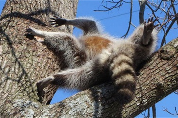 Raccoon Rescued _7195605197765230748