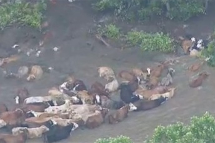 Cattle Rescue_9111373813722464944