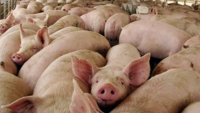 En Reino Unido ya sacrficiaron más de 600 cerdos por falta de personal para su crianza