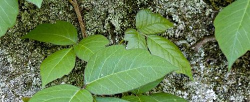 Poison Ivy Safety Tips from TFMoran Survey Department