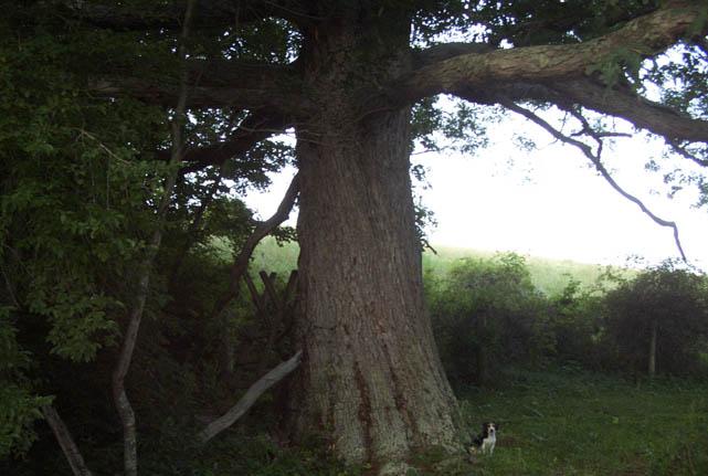 Big Tree Little Beagle