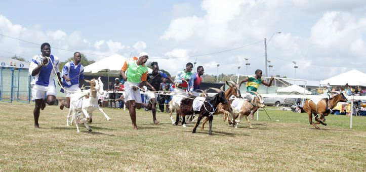 Jockeys run behind their goats during the start of one of several goat races.