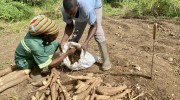 Cassava in demand