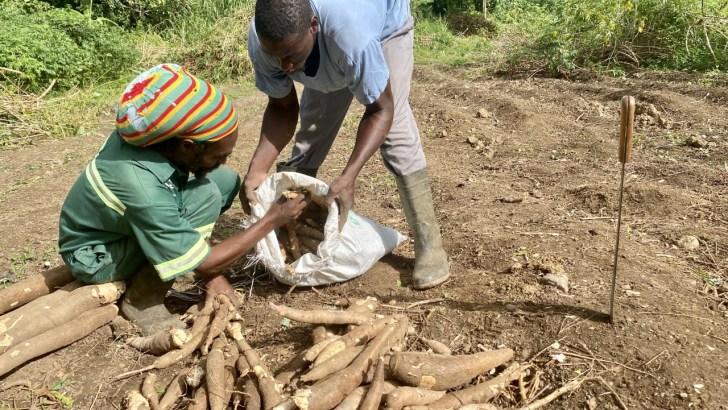 Cassava in demand