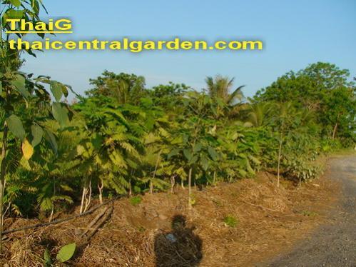 ปลูกตะไคร้คลุมดิน ป้องกันวัชพืช