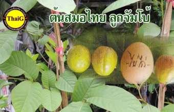 ผลสมอไทย ต้นสมอยักษ์ ลูกใหญ่เท่าไข่ไก่