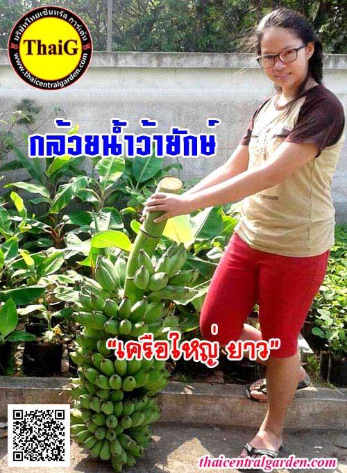กล้วยน้ำว้ายักษ์ พันธุ์กล้วยผลยักษ์จัมโบ้ สวนThaiG