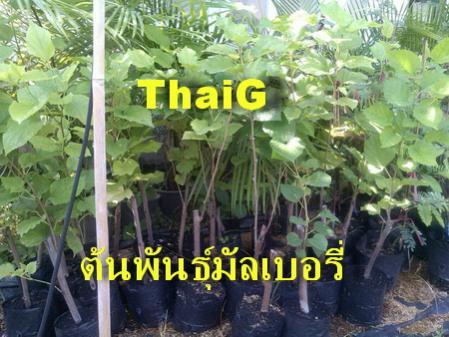 ต้นหมอน มัลเบอร์รี่ สวนไทยเซ็นทรัลการ์เด้น