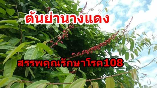 ต้นย่านางแดง สรรพคุณรักษาโรค108