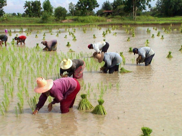 Incomes of rice farmers will continue to rise next year