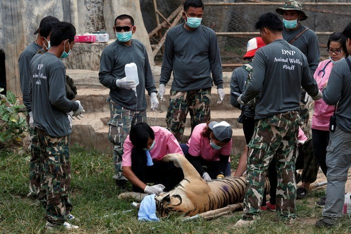 Tigers removed from Kanchanaburi's Tiger Temple