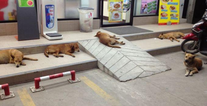 Bangkok Thailand Soi Dog Adoption