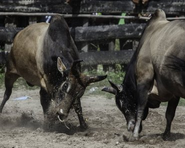 Thai Culture Bullfighting
