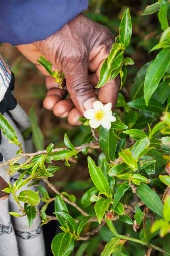 plantation thé - nuwara eliya - sri lanka