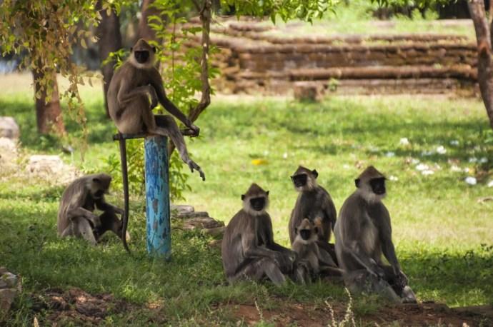 singes - anuradhapura - sri lanka