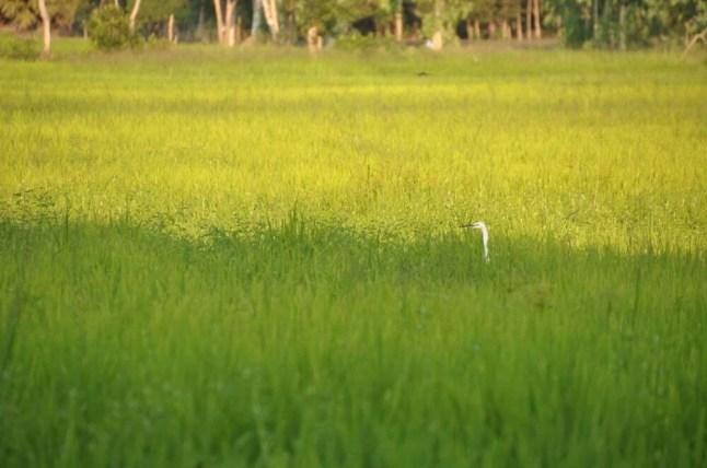 Sud Thailande campagne Pattalung