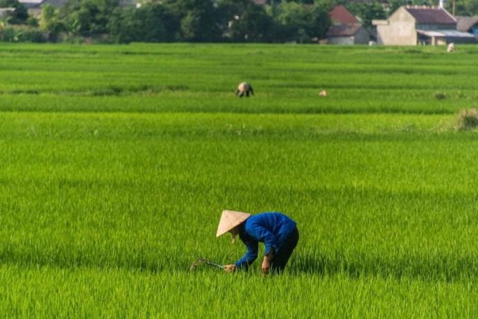 rizières entre Cao Bang - Bac Son - nord Vietnam