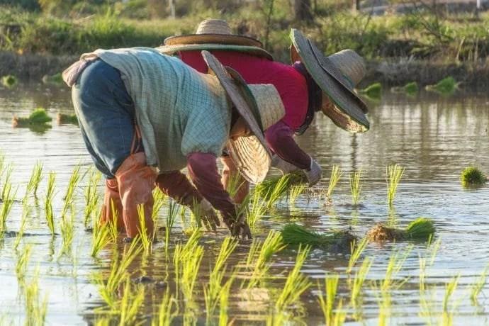 rizieres nord chiang mai - thailande