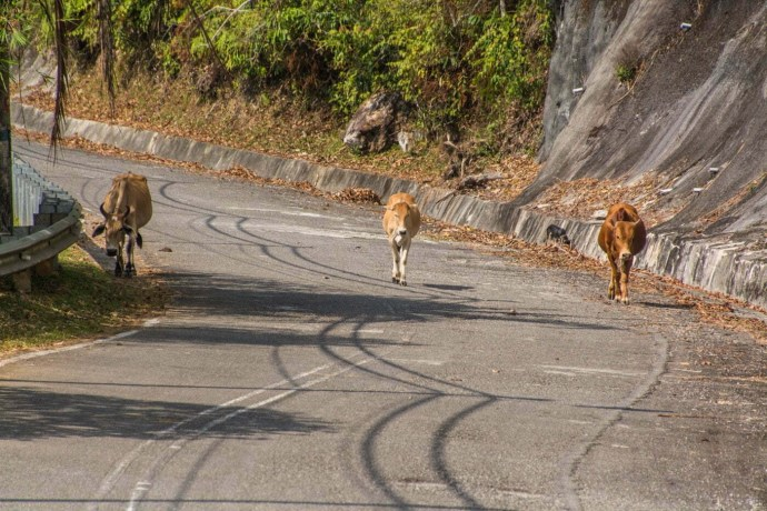 vaches route sommet mont raya langkawi - malaisie