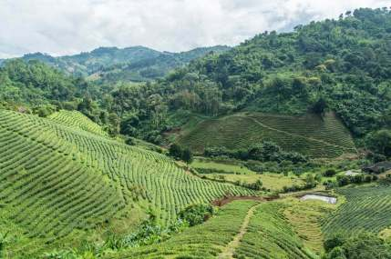 mae salong tea plantation - thailande