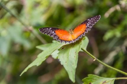 papillon au doi inthanon - chiang mai