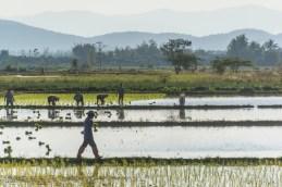 paysage riziere nord thailande en fevrier