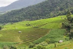 Belles rizières vers Chiang Mai en Août.