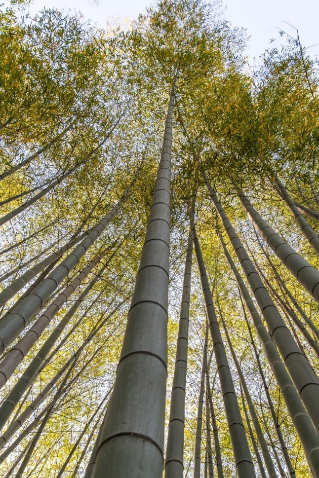 bambous arashiyama - kyoto