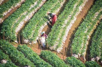 travail plantation fraises au doi ang khang - thailande