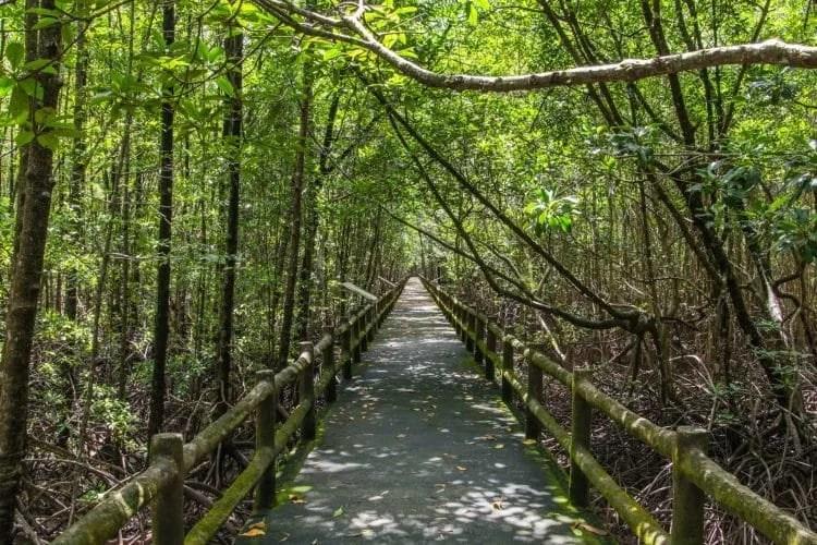 balade ngao mangrove forest research center - ranong - thailande