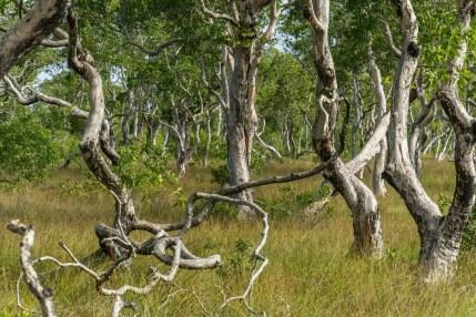 arbres savane koh phra thong - thailande