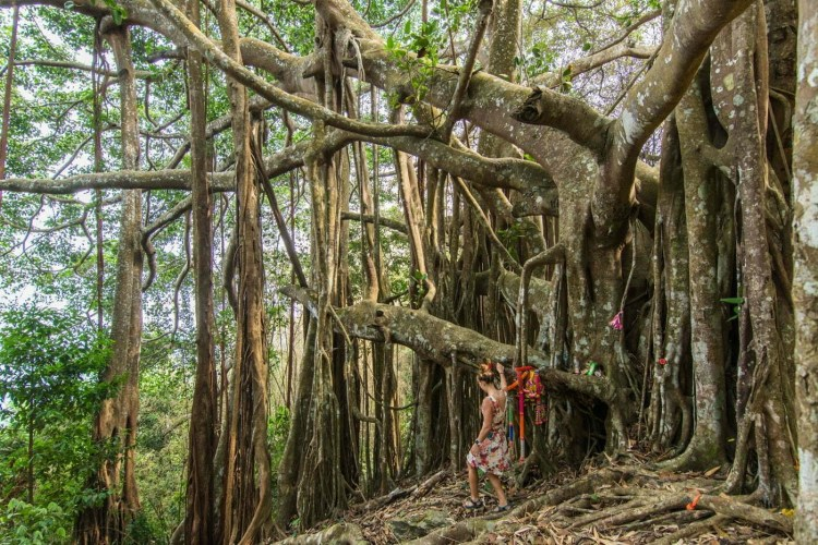 arbre banian ramkhamhaeng national park - sukhothai - thailande